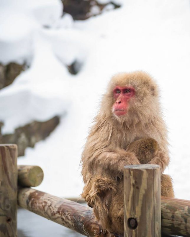Snow Monkeys, Japan Tours, RediscoverTours.com