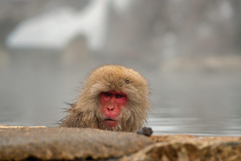 Snow Monkey in Yudanaka Onsen, Japan Tours, RediscoverTours.com