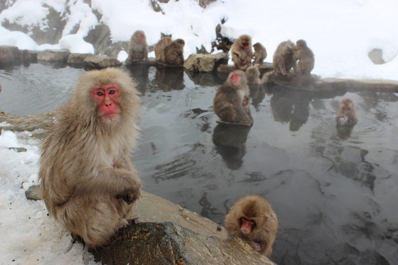 Snow Monkeys in Yudanaka Onsen, Japan Tours, RediscoverTours.com